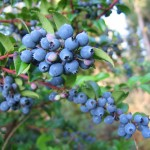 Blue_Huckleberries