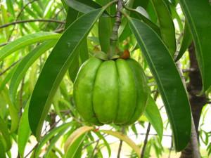 The Fruit of Garcinia Cambogia